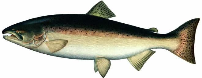 Горбуша тоже из семейства лососёвых :) ( 1 - горбуша , 2 -нерка