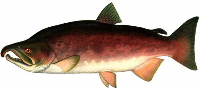 Рыба будет расти в реках лоухского, кемского беломорского и прионежского районов